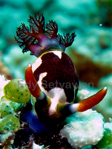 Unidentified Cute Nudibranch