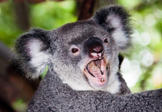 A Yawning Koala
