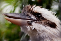 Kookaburra at Lone Pine Koala Sanctuary