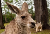 Close up Kangaroo!