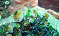 Didemnum molle (Tunicate)