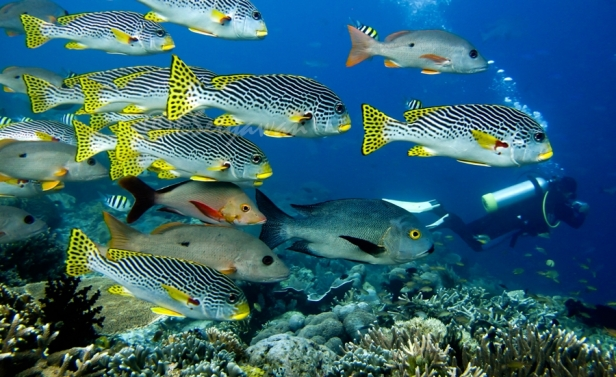 School of sweetlips and snappers at Cape Kri, Raja Ampat, West Papua
