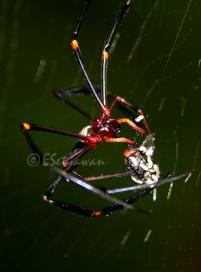 Seekor laba-laba sedang membungkus lalat yang terjerat pada jaring yang dibuatnya.