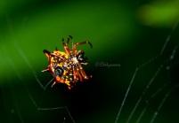 Laba-laba Punggung Duri sedang merajut jaring dengan menggunakan serat protein yang dikeluarkan dari kelenjar spinneret di bagian perutnya.