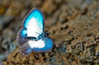 Seekor kupu-kupu sedang mengepakkan sayapnya yang berwarna biru dan putih.