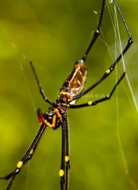 Salah satu jenis serangga yang termasuk dalam kelas Arachnida ini sangat mudah dijumpai di hutan TWA Sorong.