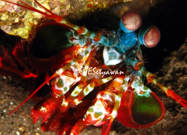 A smasher mantis shrimp came out from its burrow on fringing reef adjacent to US Liberty ship wreck in Tulamben, Bali at 6 m depth. The smashers use their raptorial claw to break their food, like clams. Mantis shrimps have good vision as their eyes have 16 photoreceptors to recognize prey and avoid predators.
