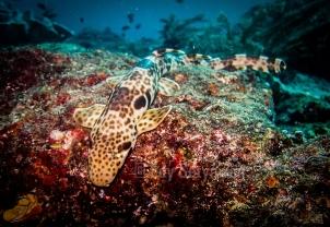 This Kalabia is found at Manta Ridge, Raja Ampat Islands, West Papua