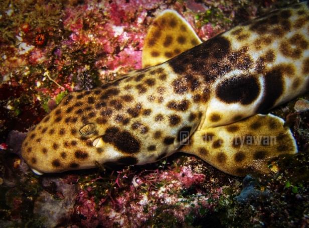 Freycinet's Epaulette Shark (Hemiscyllium freycineti)